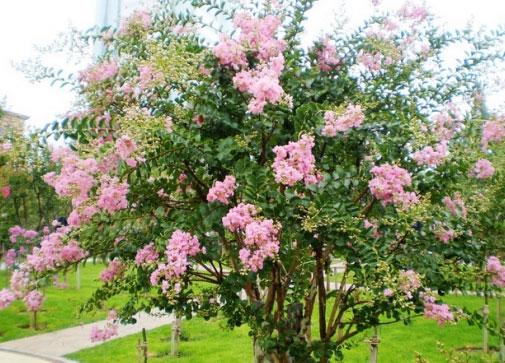 10公分蓝花楹-蓝花楹和紫薇树有什么区别,花颜色不同