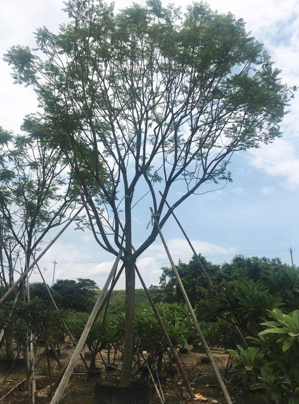 蓝花楹树种子-蓝花楹价值有哪些:观赏绿化家具用材